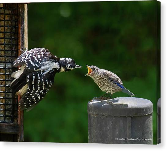 Woodpecker Feeding Bluebird Canvas Print
