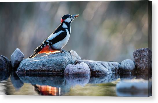 Woodpecker In Backlight Canvas Print
