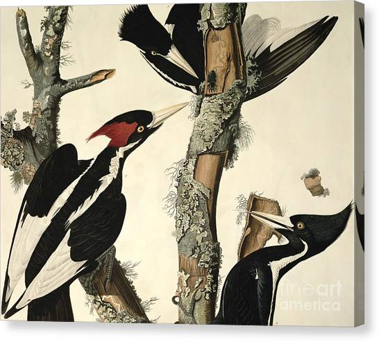 Woodpecker Canvas Print - Woodpecker by John James Audubon