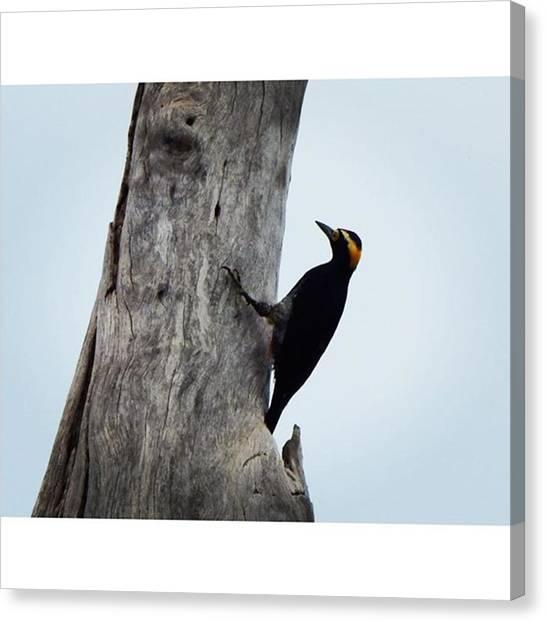 Woodpeckers Canvas Print - Woodpecker, Passando Para Desejar Uma by Hsnaturebr Br