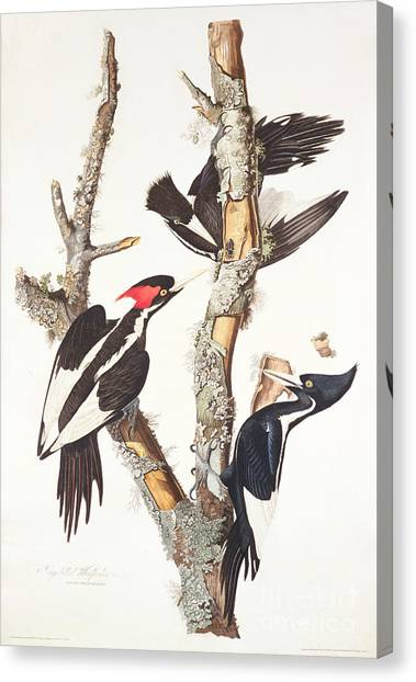 Woodpeckers Canvas Print - Woodpeckers by John James Audubon