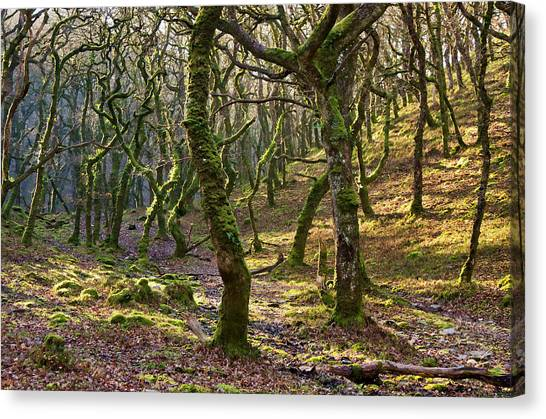 Woods Near Badgeworthy Water Exmoor Canvas Print