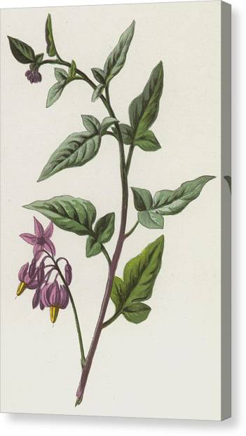 Bittersweet Canvas Print - Woody Nightshade by Frederick Edward Hulme