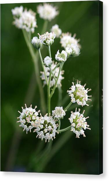 Wooly Whites Wildflowers Canvas Print by Linda Phelps