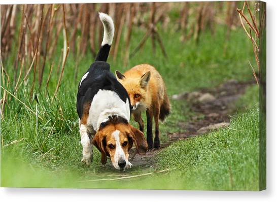Beagles Canvas Print - World\\\'s Worst Hunting Dog by Mircea Costina