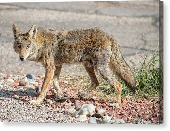 Canvas Print featuring the photograph Worn Down Coyote by Dan McManus