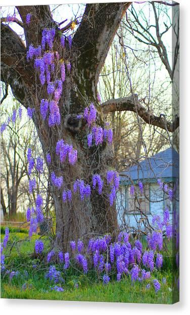 Wysteria Tree Canvas Print