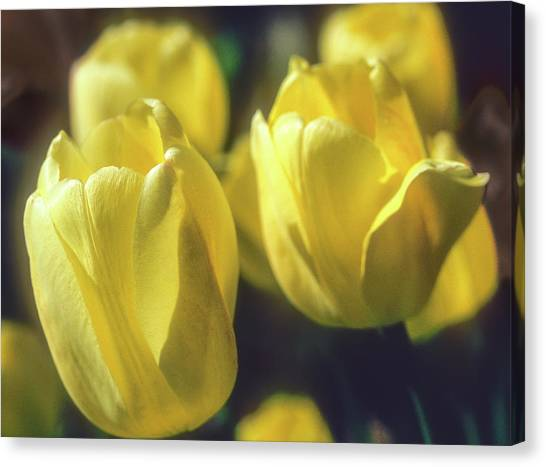 Canvas Print featuring the photograph Yelllow Tulip by John Brink