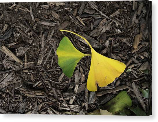 Yellow And Green Gingko Canvas Print