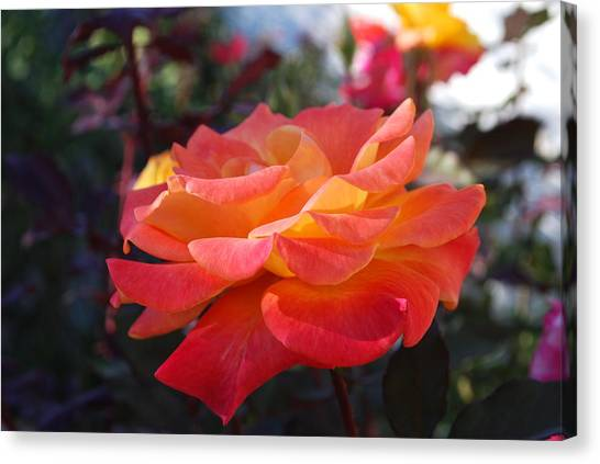 Yellow And Pink Rose Canvas Print