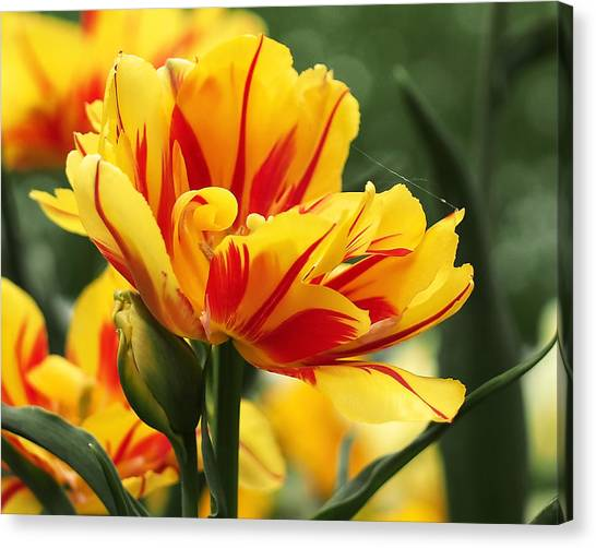 Canvas Print - Yellow And Red Triumph Tulips by Rona Black