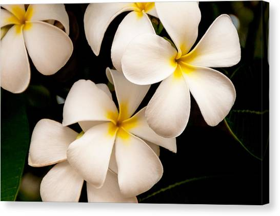 Brazilian Canvas Print - Yellow And White Plumeria by Brian Harig