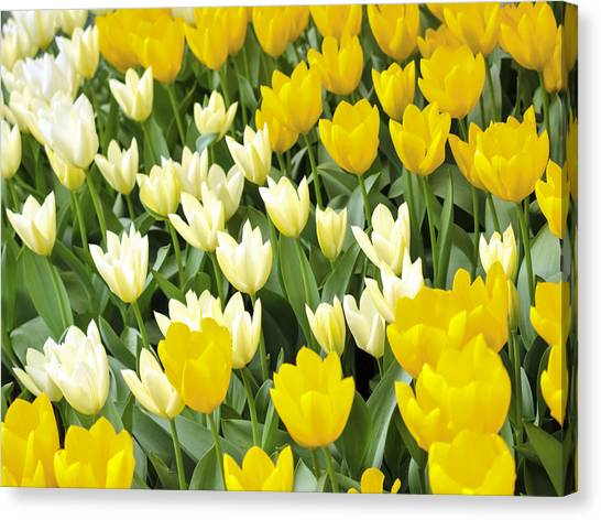 Yellow And White Tulips Canvas Print