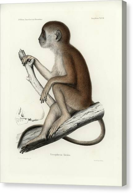 Yellow Baboon, Papio Cynocephalus Canvas Print