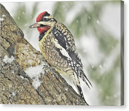 Yellow Bellied Sapsucker Canvas Print