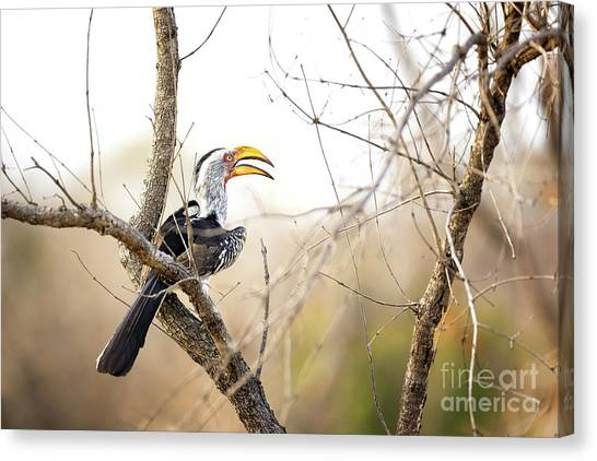 Southern Africa Canvas Print - Yellow-billed Hornbill Sitting In A Tree.  by Jane Rix