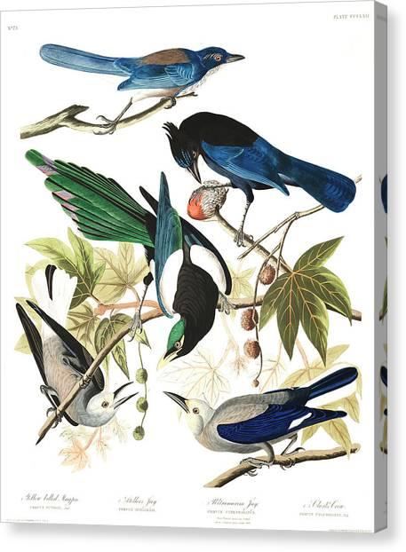 Magpies Canvas Print - Yellow Billed Magpie by John James Audubon
