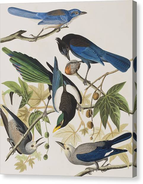Magpies Canvas Print - Yellow-billed Magpie Stellers Jay Ultramarine Jay Clark's Crow by John James Audubon