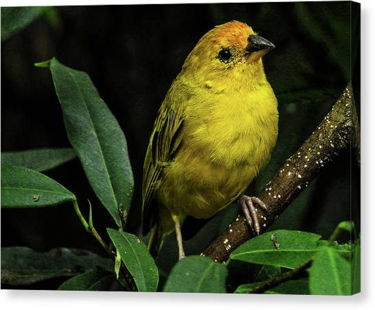 Canvas Print featuring the photograph Yellow Bird by Pradeep Raja Prints