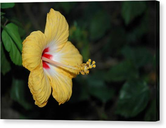 Canvas Print - Yellow Bloom by Althea Sumpter