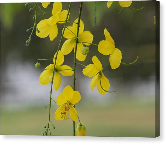 Yellow Blooms Canvas Print by Peter Hanoomansingh