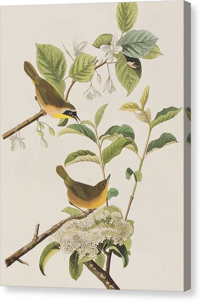 Warblers Canvas Print - Yellow-breasted Warbler by John James Audubon