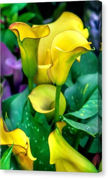 Pic Canvas Print - Yellow Calla Lilies by Az Jackson