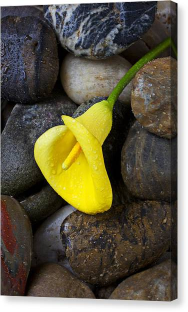 Calla Canvas Print - Yellow Calla Lily On Rocks by Garry Gay