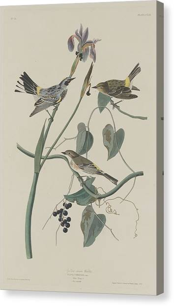 Warblers Canvas Print - Yellow-crown Warbler by Dreyer Wildlife Print Collections