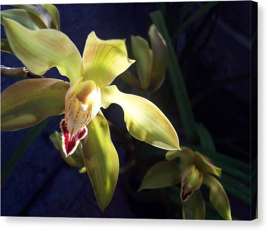 Yellow Cymbidium And Shadows Canvas Print by Jean Booth