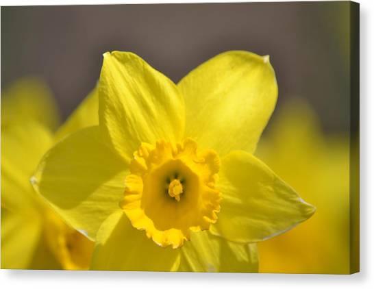 Yellow Daffodil Flower Canvas Print