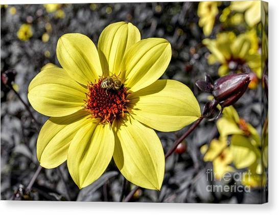 Colorado State University Canvas Print - Yellow Dahlia by Keith Ducker