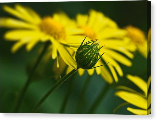 Yellow Daisy Bud Canvas Print
