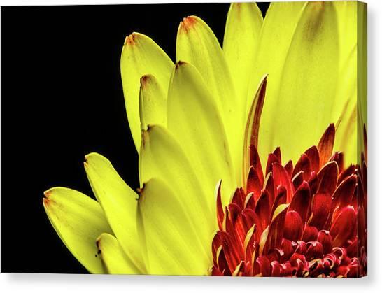 Yellow Daisy Peeking Canvas Print