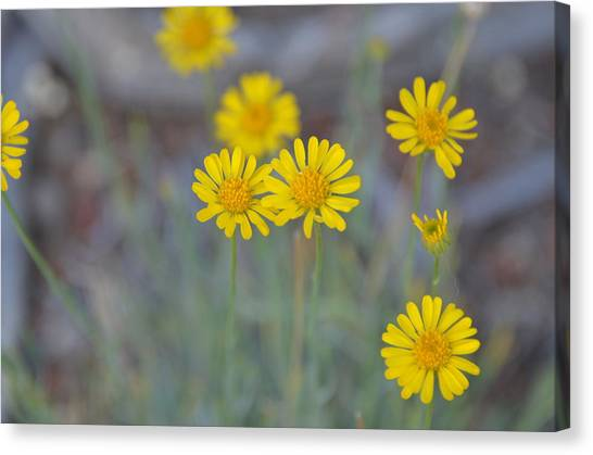 Yellow Daisy Wildflowers Canvas Print