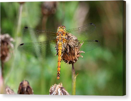 yellow Dragonfly Canvas Print by Pierre Leclerc Photography
