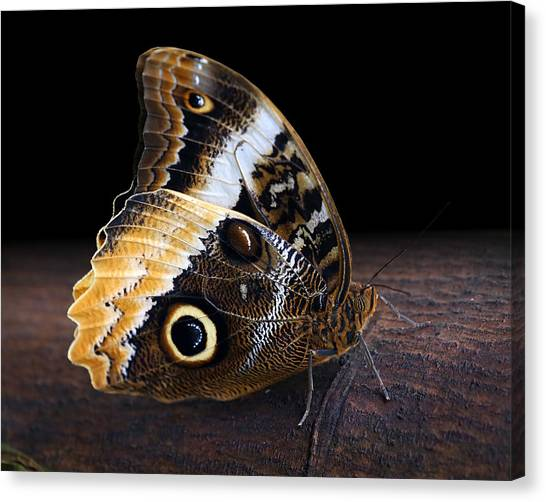 Yellow-edged Giant Owl Butterfly Canvas Print