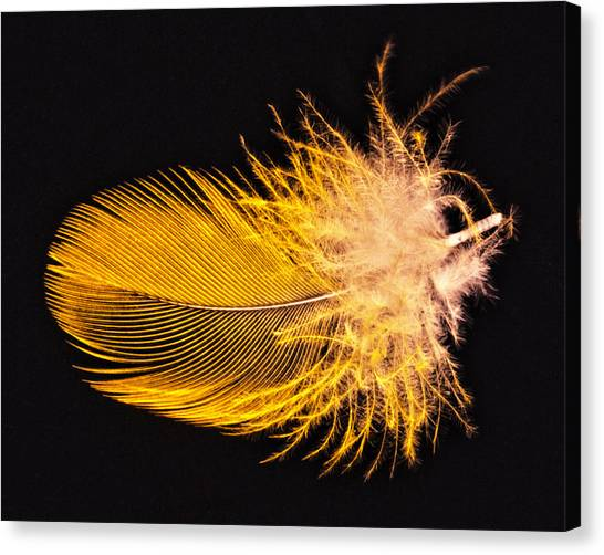Yellow Feather Macro Canvas Print