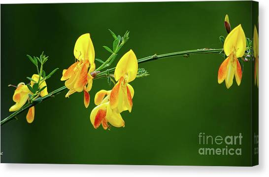 Yellow Fever Canvas Print