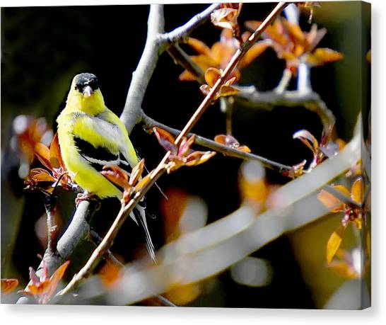 Yellow Finch Canvas Print by Pat Carosone