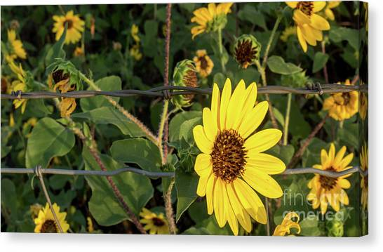Yellow Flower Escaping From A Barb Wire Fence Canvas Print