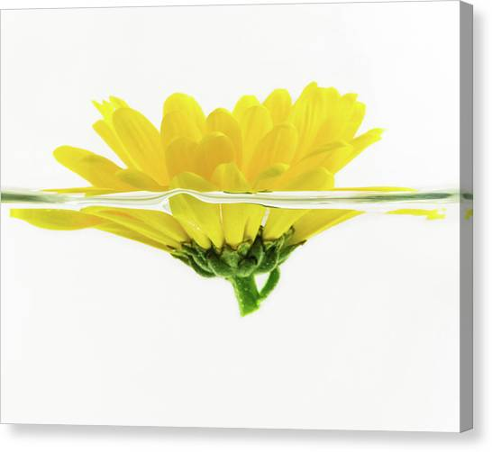 Yellow Flower Floating In Water Canvas Print