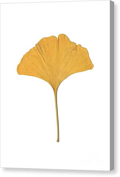 Yellow Ginkgo Leaf Canvas Print