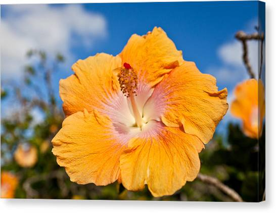 Yellow Hibiscus Canvas Print