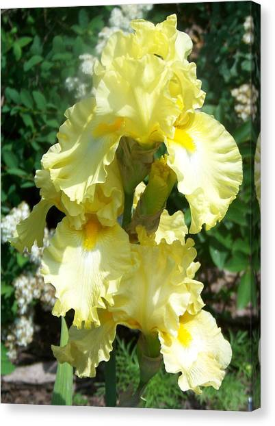 Yellow Iris At Fellows Riverside Garden Canvas Print by Lois Mountz