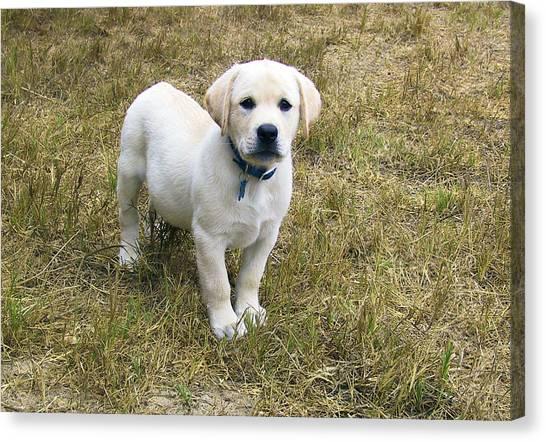 Yellow Labrador Puppy At Wanting To Play. Canvas Print
