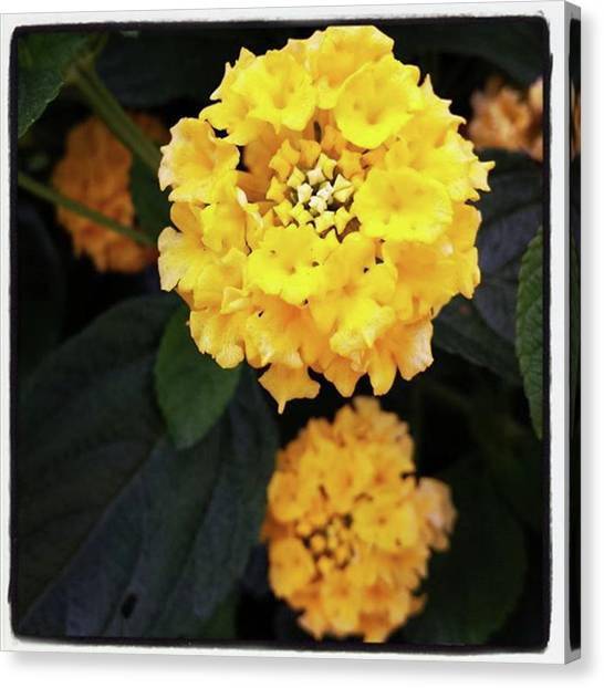 Canvas Print featuring the photograph Yellow Lantanas Along The Scenic Drive by Mr Photojimsf