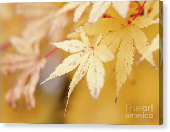 Yellow Leaf With Red Veins Canvas Print