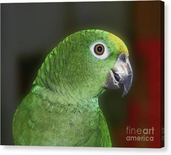 Yellow Naped Amazon Parrot Canvas Print