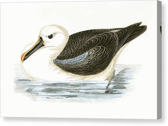 Albatrosses Canvas Print - Yellow Nosed Albatross by English School